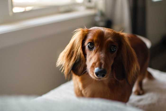 Dachshunds for kids
